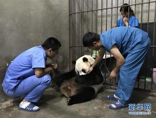 (环境)(3)陕西迎来今年第三只大熊猫幼仔