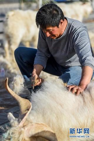 (社会)(2)鄂尔多斯:剪羊毛 梳羊绒
