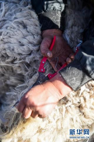(社会)(4)鄂尔多斯:剪羊毛 梳羊绒