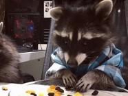 俄浣熊餐桌上对着零食大快朵颐