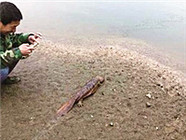 居民修自家下水道 掏出条10斤重娃娃鱼