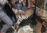 印度花豹闯居民区伤6人