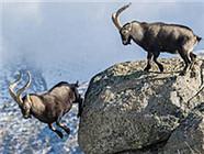 两只山羊悬崖边搏斗输者被迫跳崖