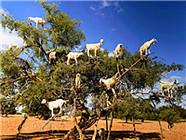 闻所未闻!坚果树上站满14只山羊