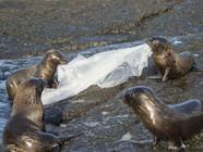 """海豹捡到塑料垃圾当玩具 玩""""拔河""""游戏"""
