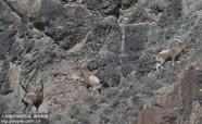国家一级保护动物北山羊漫山间
