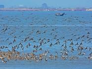 鸭绿江湿地的候鸟群