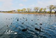 黑天鹅颐和园越冬