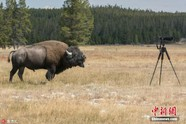 美国大野牛狂奔而来 摄影师丢弃相机逃命