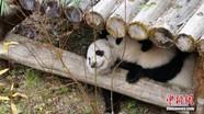 """首对""""海归""""大熊猫双胞胎回到中国"""