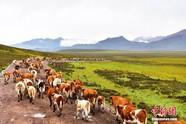 祁连山下牧民赶牲畜穿越千里草原