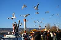 2017年1月14日,市民和游客在昆明滇池海埂大坝给红嘴鸥喂食。