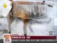 """狐狸掉进河里  冻成""""冰雕"""""""