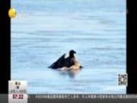 两只海雕被困金州海面  救援赶到仍无力回天