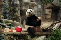 1月16日,在香港海洋公园,大熊猫乐乐准备享用新春大餐。 新华社发(王玺摄)