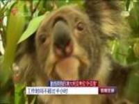 """勤练拥抱的澳大利亚考拉""""外交官"""":工作时间不超过半小时"""