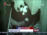 """熊猫""""宝宝""""即将回国:美国民众依依不舍"""