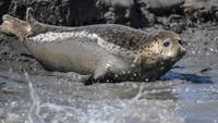 3月21日,一只斑海豹在辽宁盘锦双台河口三道沟海域的滩涂上休息。