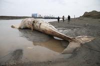3月22日在上海市浦东新区老港镇一处渔船码头拍摄的死亡鲸鱼。