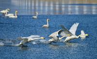 这是北京市密云区太师屯镇芦各庄村清水河水面上的野生白天鹅(3月13日摄)。