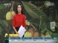 四川泸州:五月枇杷满枝头  游客果农忙采摘
