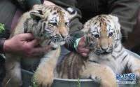 这是5月25日在德国莱比锡的动物园拍摄的双胞胎小老虎。 新华社/法新