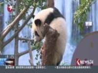 澳门:大熊猫双胞胎喜迎一周岁生日