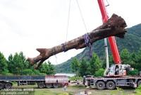 8月13日下午,横峰县打捞部门在吊运阴沉木。