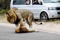 一头公狮和一头母狮躺在马路中间导致交通堵塞,但当狮子在车前开始交配的时候,交通状况一度变得更糟。