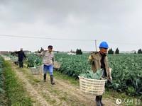 工人们挑着担子装运西兰花。