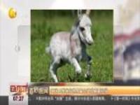 英国48厘米高世界最小驴或刷新纪录
