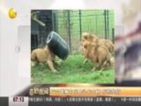 荷兰雄狮为觅食头卡大桶  惊慌失措