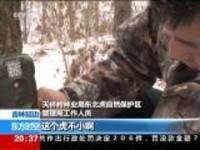 吉林延边:自然保护区内再现野生东北虎