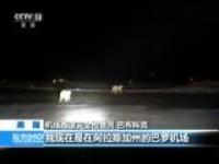 美国:阿拉斯加一座机场惊现北极熊