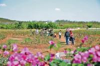 阳春三月,儋州屋基村爱尚玫瑰庄园的百亩玫瑰吸引游客慕名前来游玩。