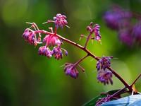 矮紫金牛花,树皮可入药。(黄庆优摄)