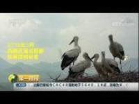 厉害了我的国 改革开放40年:国家一级保护动物东方白鹳高压铁塔上筑巢