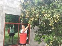 南吉村农户为游客采摘黄皮