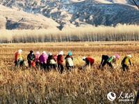 小庙子村的村民们正在采收中草药射干的种子。(段国栋 摄)