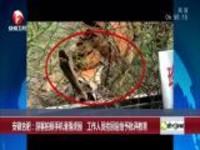 安徽合肥:游客拍照手机滑落虎园  工作人员捡回后给予批评教育