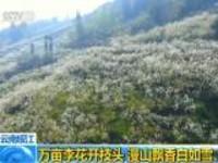 云南绥江:万亩李花开枝头  漫山飘香白如雪