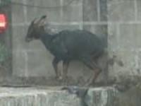 """陕西汉中:下山觅食误入城区  众人助鬣羚""""回家"""""""
