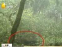 云南腾冲  高黎贡山南段首次拍到羚牛影像