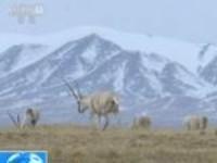青海:受降雪影响  藏羚羊在公路边觅食