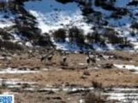 四川阿坝:今年首批越冬返迁黑颈鹤抵达阿坝