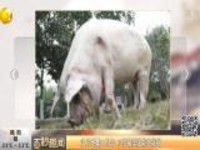 汶川地震11周年  12岁猪坚强能吃能喝