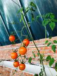 白城市镇赉县架其村温室暖棚种植的黄色圣女果。 人民网 张玫 摄