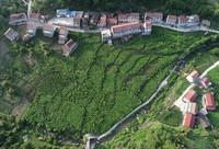 这是安康市汉滨区中原镇麻庙村的桑园(6月25日无人机拍摄)。