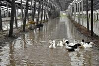 8月11日,在寿光市稻田镇东里村,蔬菜大棚进水,鸭子在水中游弋。