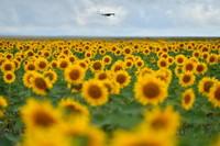 这是在甘肃省白银市景泰县寺滩乡拍摄的向日葵花海(8月13日摄)。
